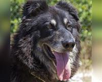schaeferhund-9-jahre-black-tri-wachtersbach