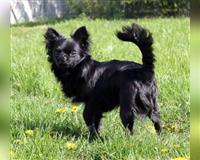 chihuahua-2-jahre-schwarz-rennerod
