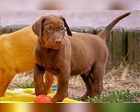 labrador-retriever-5-monate-braun-bruchmuehlbach-miesau