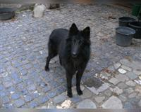 belgischer-schaeferhund-3-monate-schwarz-peer