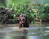 labrador-retriever-schokoladenfarben-hohenwarth