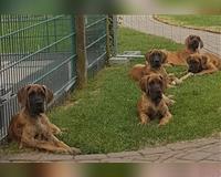 deutsche-dogge-5-monate-gestromt-buende
