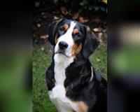 grosser-schweizer-sennenhund-tricolor-gronau