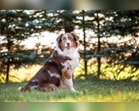 australian-shepherd-2-jahre-blue-merle-lalendorf-ot-raden