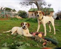 beagle-3-jahre-berlin