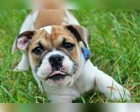 english-bulldog-7-monate-tricolor-schwabach