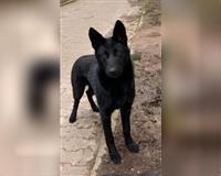 deutscher-schaeferhund-5-monate-schwarz-golmbach-warbsen
