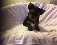 yorkshire-terrier-1-monat-nack