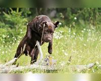 labrador-retriever-1-jahr-braun-jettingen-scheppach