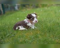yorkshire-terrier-2-monate-braun-weiss-stolberg