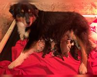 australian-shepherd-3-monate-aufhausen