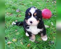 berner-sennenhund-2-monate-tricolor-herford