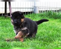 deutscher-schaeferhund-2-monate-dreifarbig-braun-schwarz-zschaitz-ottewig