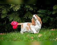 basset-hound-5-monate-bicolor-svetla-n-s