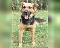 schaeferhund-1-jahr-schwarz-und-loh-cuxhaven