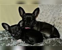 chihuahua-2-jahre-schwarz-bleckede
