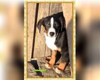 appenzeller-sennenhund-10-monate-bicolor-altmarkische-hoehe