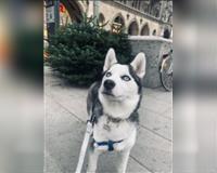 siberian-husky-7-monate-grau-muenchen