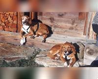 beagle-braun-weiss-tolentino
