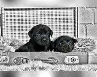 labrador-retriever-2-monate-schwarz-hofheim-in-unterfranken