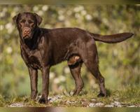 labrador-retriever-3-jahre-braun-scheer