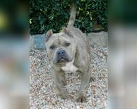 english-bulldog-4-jahre-grau-pfaffenhofen-a-d-roth