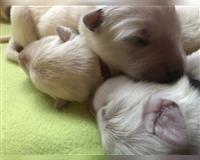 weisser-schweizer-schaeferhund-4-monate-weiss-rinteln