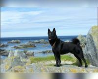 norwegischer-elchhund-6-monate-black-tri-pforzheim