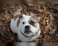 english-bulldog-6-monate-tricolor-schwabach