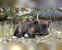 franzoesische-bulldogge-2-monate-gestromt-simbach--niederbayern