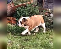 english-bulldog-10-monate-braun-weiss-rohrsheim