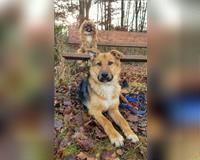 suche-lieben-gassigeher---dogsharing---hundebetreuung-fuer-junge-huendin-schaeferhund-dreifarbig-braun-schwarz-illingen