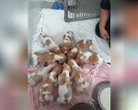 italienischer-vorstehhund-1-monat-friedberg