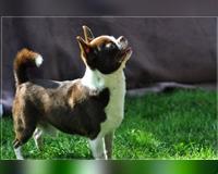 chihuahua-4-jahre-braun-weiss-rennerod