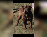 english-bulldog-3-jahre-schokoladenfarben-schorfheide