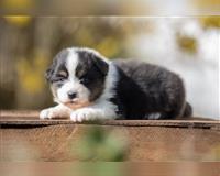 australian-shepherd-6-monate-kierspe