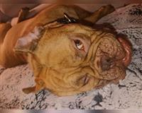 old-english-bulldog-2-jahre-gestromt-schweinfurt