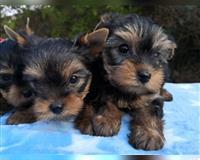 yorkshire-terrier-4-monate-tricolor-hohenaspe