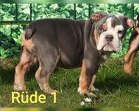 english-bulldog-5-monate-grimmen