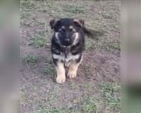 deutscher-schaeferhund-4-monate-bertikow