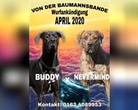 deutsche-dogge-1-monat-steyerberg