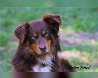 australian-shepherd-2-jahre-braun-herdorf