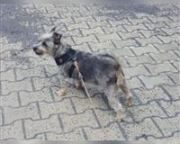 yorkshire-terrier-8-jahre-grau-attendorn