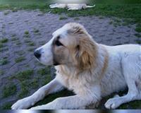 pyrenaeen-berghund-7-monate-karstadt