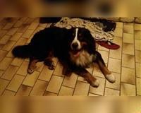 berner-sennenhund-5-jahre-tricolor-herford