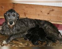 irish-wolfhound-gestromt-muenchberg