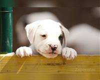american-bulldog-jueterbog