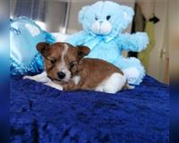 yorkshire-terrier-1-monat-braun-weiss-stolberg