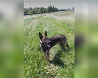 deutscher-schaeferhund-3-jahre-schwarz-geschimmelt-vellmar