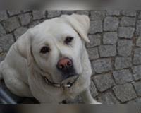 labrador-retriever-weiss-neukirchen